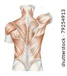 Human Anatomy   Muscles Back