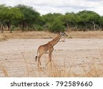 beautiful giraffe in africa    Shutterstock . vector #792589660