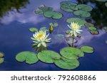 Beautiful White Water Lily...
