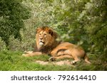 Barbary Lion Hidden In Dense...