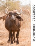 Small photo of African Buffalo standing facing camera full length portrait of one animal