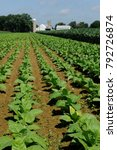 Small photo of Lancaster County, PA., USA, July 5, 2013, Amish corn and tobacco