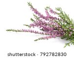 Purple Heather Flowers Isolate...