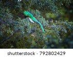 flying resplendent quetzal ... | Shutterstock . vector #792802429