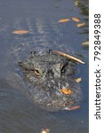 Small photo of Alligator on surface (Alligator mississippiensis), Florida