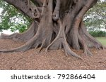 Aerial Roots And Roots Of...