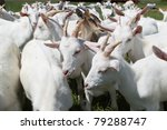 group of white goats - stock photo