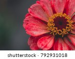 Close up of red zinnia flower ...