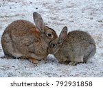 Stock photo small gray rabbit or hare with mum sitting together sweet bunny rabbits hare mother and baby 792931858