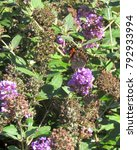 Small photo of American painted lady butterfly rest on the flowers on a butterfly bush; Landisville, PA, USA