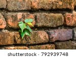 Small photo of Soft focus of bodhi grow on old brick wall (naturally have to adapt to survive) for background.