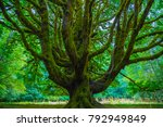 moss covered tree olympic... | Shutterstock . vector #792949849