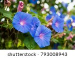 Image Of A Blue Flower Of...