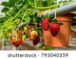 Strawberry In The Pots  Camero...