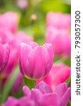 beautiful bouquet of tulips.... | Shutterstock . vector #793057300