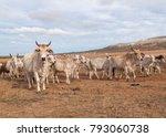 australian cattle with horns on ... | Shutterstock . vector #793060738