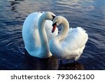 The Loving Courtship Of Swans...