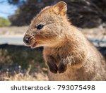 australian quokka on rottnest... | Shutterstock . vector #793075498