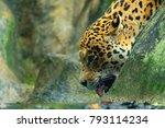 Feline Panther Jaguar Drinking...