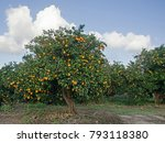 trees with ripe oranges | Shutterstock . vector #793118380