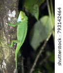 Small photo of Large green lizard Enyalioides ssp. In the mountain foggy forest of Maquipucuna, Ecuador