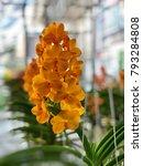 Ascocentrum Orchid  Mini Vanda...