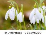 closeup shot of fresh common... | Shutterstock . vector #793295290
