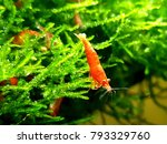 Neocaridina Red Cherry Shrimp...