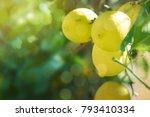 fresh lemon on the branch | Shutterstock . vector #793410334
