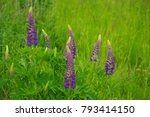 lupins growing wildly | Shutterstock . vector #793414150