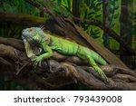 Iguana In Trees