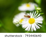 Closeup Of A Flower Fly On A...