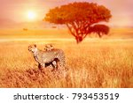 two cheetahs in the serengeti... | Shutterstock . vector #793453519