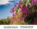 Blooming Bougainvillea.magenta...
