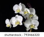 Beautiful White Orchid On A...