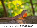 anole lizard in profile with... | Shutterstock . vector #793473463