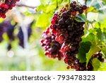 vine grapes at harvest   Shutterstock . vector #793478323