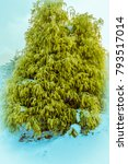 Small photo of Winter landscape of vibrant lurch evergreen tree in a snow covered public park