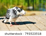 Pigeon Looks At His Shadow On...