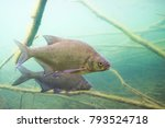 underwater photography of carp... | Shutterstock . vector #793524718