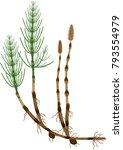 equisetum arvense  horsetail ... | Shutterstock .eps vector #793554979