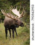A Large Bull Moose In Alaska's...