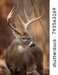 A Huge White Tailed Deer In Th...