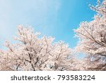 the cherry blossoms in japan | Shutterstock . vector #793583224
