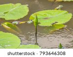 green lotus is budding in the... | Shutterstock . vector #793646308