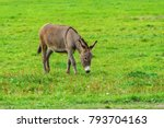 The Donkey Grazes On A Green...