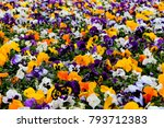 Multicolor pansy flowers or...
