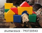 photo of a white rat sitting on ... | Shutterstock . vector #793720543