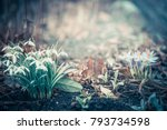 Spring Landscape With Snowdrop...