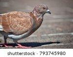 pigeon  dove  australian bird ...   Shutterstock . vector #793745980